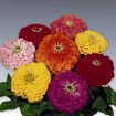 Benary Giant  Zinnia Colors
