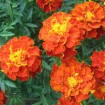 Brocade Marigold Mix