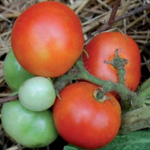 Tomatoes | Hattie's Garden