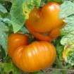 Goldie Tomato