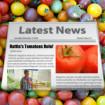 Hattie Tomato Thumb 8-15-15