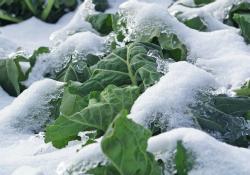 collard greens in the snow