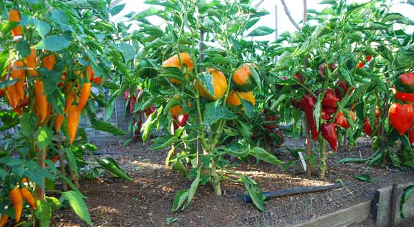 Peppers Are Another Member Of The Solanaceous Or Nightshade Family A Tender Warm Season Vegetable Like Eggplants And Tomatoes Grow Slightly Less