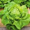kragner summer lettuce