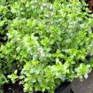 lemon-thyme-plant
