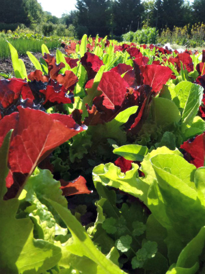 lettuce HG