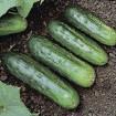 little leaf pickling cucumber