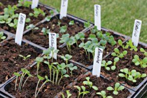 romaine-lettuce-seedlings