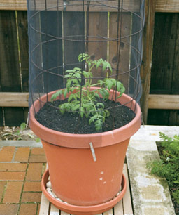 tomato container pots