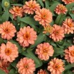Profusion Double Deep Salmon Zinnia